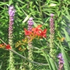Blazing Star and Crocosmia plants
