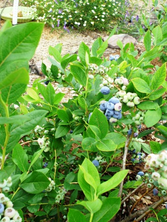 Blueberries in June