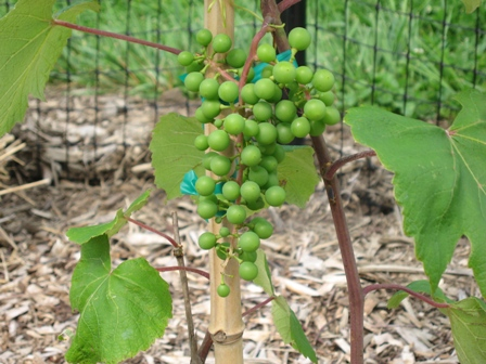 First Grapes June 15, 2009