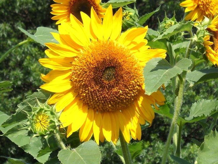 sunflower-70312sm