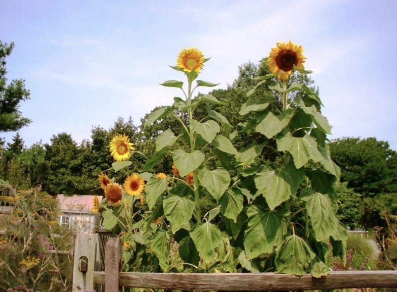 sunflowers-2012