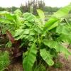 banana-plants