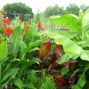 cannas-and-banana-palms-2012-sm