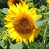sunflower-70312sm
