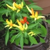 potted-peppers-092309