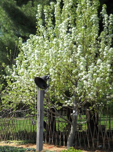 pear-tree-flowering-0410