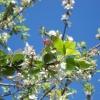 apple-tree-041212sm