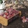 peach-harvest-062409