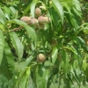 peach-tree1-may-08