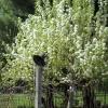 pear-tree-flowering-0410
