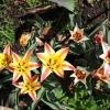 species-tulips-041411-sm