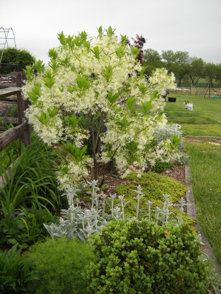 Fringe Tree in May 2009