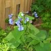 bluebells-040312