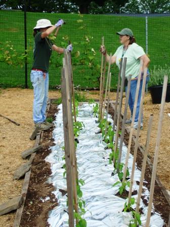 stakingpepperplants_may