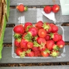 strawberries-051310