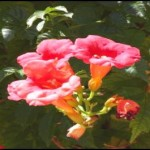 Image of Trumpet Vine Flower