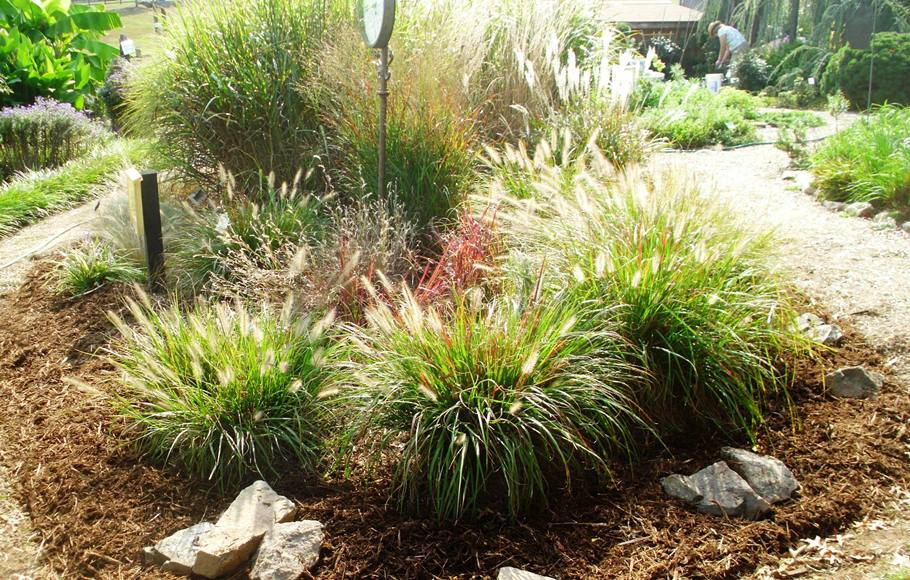 Ornamental grasses loudoun county master gardeners for Ornamental grass bed design