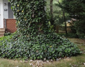 Ivy choking tree