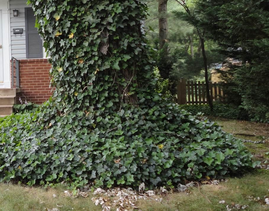 Removing English Ivy Loudoun County