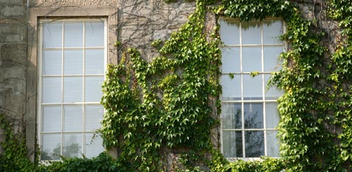 Removing English Ivy Loudoun County Master Gardeners
