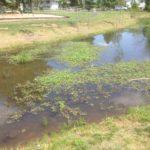 creeping water primrose