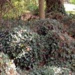 ivy on ground (2) (002)