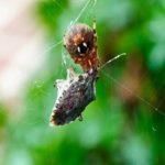 spidereatingstinkbug (1 of 1)